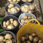 John and Margarets harvest of Potatooes