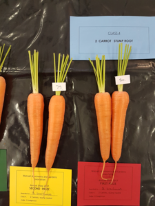 2 carrots, long rooted